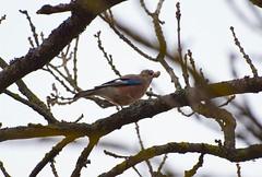 Jay with a treasure (Jurek.P) Tags: birds bird sójka jay tree mazury masuria poland polska jurekp sonya77