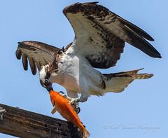 Koi for lunch (cbjphoto) Tags: carljackson photography sanjoaquin wildlife sanctuary