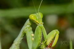 Green Mantis (kalyan_1052) Tags: mantis macro green greenmantis