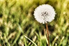 La terra ride nei fiori [..] (amogiulietta) Tags: dandelion flowerpower flora mothernature alone spring beautiful flower