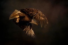 "Evening Sortie (r) (Blingsister-Melanie) Tags: eagleinflight americanbaldeagle baldeagle eagle eagleandtexture""textured backgroundmelanie leeson wildlife photographyblingsistercanoncanon 7d mark iicanon ef100400mm f4556l is ii usm 14x iiisouthern vancouver island flickr tags up jumbled"