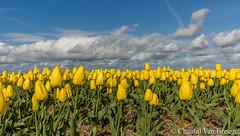 Tulpen in de Nop (Chantal van Breugel) Tags: bloemen landschap lente tulpen tulpenveld bloembollen april 2017 canon5dmark111 canon1635