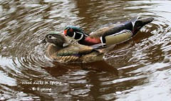 WBY0929-20 7D2-100 Wood ducks in Spring (wbyoungphotos) Tags: wood woodduck woodducks spring posterity season multiply
