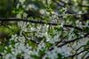 marry me (bonzerg) Tags: nikon d5100 nature white helios helios442 bokeh domestic flowers flower spring prunus cerasus green branch stamen stamens