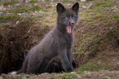 Surprise! (~ Bob ~) Tags: tamron fox nikon baby nature d500 den kit sanjuanisland feisol mammal washingtonstate wildlife