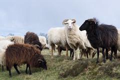 The Sheep herd (beeldmark) Tags: pieterpad schaap rolde drenthe nederland nl smcpentaxda70mmf24limited smcpda70mmf24 schapen kudde sheep herd beeldmark pentax k5