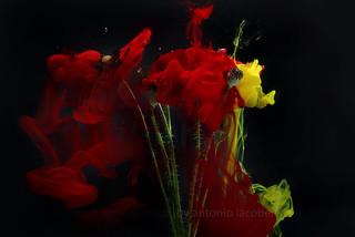 estrazione colori dal papavero...