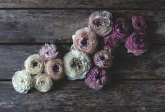(CarolienCadoni..) Tags: sonyslta99 sal50f14 50mmf14 ranunculus ranonkel pink white still stilllife colors flowers light