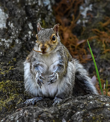 Seriously, it was THIS big...  . (knoxnc) Tags: chapelhill northcarolina nature greysquirrel treeroot spring nikon d7200 outdoors grass