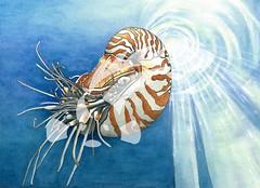 Nautilus (rachelsargent) Tags: nature naturalhistory illustration scientificillustration nautilus livingfossil nautiluspompilius sea ocean mollusc