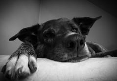 (tolltroll11) Tags: bardino dogs hunde