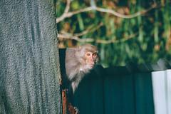 山上野猴 Monkey (里卡豆) Tags: olympus penf monkey 猴子 75300mmii f4867 75300mmf4867ii