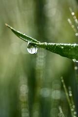 Gocce di primavera (thomas.amicabile) Tags: rugiada foglie erba flora macro gocce water