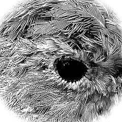 Beady eye HMM (Englepip) Tags: macromondays eyes robin vignette outdoor nature macro blackandwhite monochrome dark reflection feathers bird