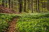Flower path (Passe-) Tags: flowers path trail spring bloom beautiful nature art tree trees forest vitsippa vitsippor vackra blommor vår skäralid bokskog flower