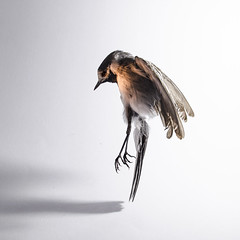 Ch1 (Alžběta Zapletalová) Tags: chicadee bird birdie small little dead white backround wings feather ornage light