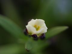 klein und weiß, lila, gelb und grün (im_fluss) Tags: alyssum steinkraut blume balkon bokeh blüte macro flower balcony blossom pflanze plant