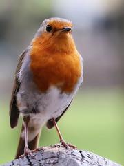 Selfie (robin denton) Tags: robin bird nature widlife stridwoods boltonabbey northyorkshire yorkshire