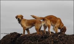 Top of the World (John Neziol) Tags: kjphotography goldenretriever fieldretriever pointynoseddogs interestingdogposes pet dog dognose animal outdoor