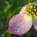 dew on our dogwood, pink bracts