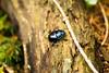 Petit scarabée (Alex GATTE Photographie) Tags: scarabée animal forêt forest bois wood insecte petit noir bleu couleur invertébré photographie