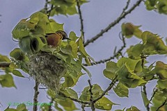 IMG_9318-Baltimore oriole on top of nest (LindaSbird) Tags: birds orioles nests