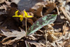 Trout Lily: Erythronium americanum (marylea) Tags: troutlily erythroniumamericanum wildflower wildflowers yellow michigan washtenawcounty hudsonmillsmetropark hudsonmills leaf leaves apr22 2017