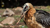 124.1 Lammergier-20170405-J1704-49514 (dirkvanmourik) Tags: corvisser gypaetusbarbatus ineziatoursgierenfotografiereisapril2017 lammergeier lammergier quebrantahuesos spanje vogelsvaneuropa bird