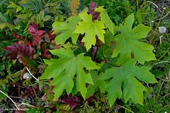 Big leaves (JSB PHOTOGRAPHS) Tags: d2x228400014 leaves altonbakerpark eugeneoregon nikon d2x 18300mm