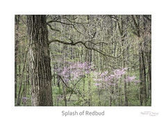 Splash of Redbud (baldwinm16) Tags: april il illinois mortonarboretum midwest nature season spring woods woodland redbud natureofthingsphotography