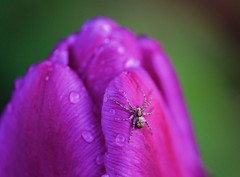 Spider After the Rain (imageClear) Tags: tulip spider rain droplets color lovely nature evening insect aperture nikon d600 105mm imageclear flickr photostream closeup macro