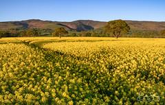 An Evening Below Moel Famau (benstaceyphotography) Tags: moelfamau northwales yellow flowers crops rapeseed clwydian range cymru handheld kitlens d7000 sunset nikon landscape shadows denbighshire fields