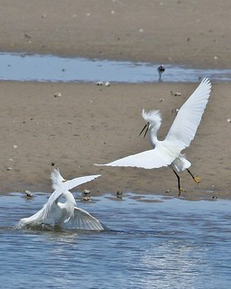 Snowy Egret, Egretta Thula (Battle Series)