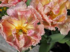 Tulpen (1elf12) Tags: tulips tulpen braunschweig germany deutschland blume flower blossom blüte blütenblatt petal