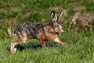 In The Cross Hare