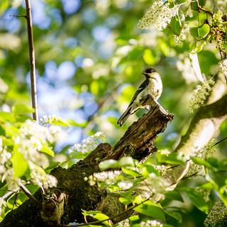Kohlmeise Jungvogel/great tit fledgling