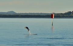 DSC_0045 (13) (RUMTIME) Tags: dolphin coochiemudlo coochie brisbane queensland redlands bay