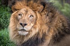 Mr. Magnificent (helenehoffman) Tags: pantheraleo lion felidae sandiegozoosafaripark bigcat mammal cat lioncamp africa carnivore izu animal