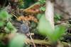 this snail... (severalsnakes) Tags: kansas pentax saraspaedy shawnee shawneemissionpark accuradiamatic13528 extensiontube k1 m42 macro manual manualfocus mollusk screwmount snail