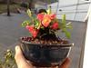 Chaenomeles japonica (Flowering Quince) (dschis01) Tags: chaenomeles japonica flowering quince