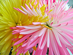 Star Burst Of Colour (bigbrowneyez) Tags: flowers chrysanthemums gorgeous beautiful pretty lovely closeup elegant explosion artful charming details nature natura fabulous striking stunning delightful precious starburst starburstofcolour bright colours colurful colori belli belissimo unique