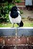 Day 122 (lizzieisdizzy) Tags: bird garden wild black white brick wall magpie sleek feathers eye dark beak feather sheen sharp thin legs talons scaly body tail head beady parliament