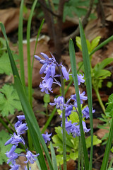 """Blue Bells """"It's the little things"""" 18/52 Explore 20170505 (Olga and Peter) Tags: itsthelittlethings bluebells blauw bloemen flowers fp1150063"""