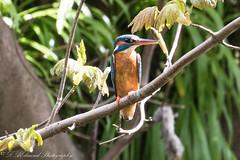 Kingfisher (Dougie Edmond) Tags: birds nature wildlife kingfisher belleisle golf course slaphouse burn ayrshire