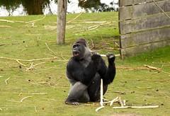 Zilverrug gorilla (Silverback) (ToJoLa) Tags: canon canoneos60d 2017 safaripark beeksebergen voorjaar spring lente animals dieren dierentuin noordbrabant zoo gorila aap zilverrug