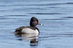 Fuligule à collier / Ring-necked Duck (Pierre Lemieux) Tags: stonehamettewkesbury québec canada fuliguleàcollier ringneckedduck canard duck eau marais maraisdunord lacsaintcharles