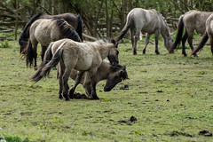 Young Konik Horses playing (madphotographers) Tags: konik konikpaarden oostvaardersplassen nature wild wilderness horses horse