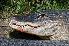 "Blood Still (dcstep) Tags: n7a3375dxo blood bloody alligator ""canon 5d mkiv"" ""ef 100400mm f4556l is ii"" ""all rights reserved"" ""copyright 2017 – david c stephens"" ""st augustine"" fl florida ""alligator farm"" augustine ""dxo optics pro 114"" nature sanctuary gator reptile pixelpeeper handheld ecoregistrationcase15586202651"