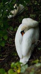 Swan pair sleeping (Dave_A_2007) Tags: bird nature swan wildlife stratforduponavon warwickshire england