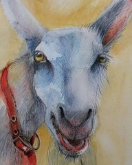Penny the Goat (sushipulla) Tags: goat bardseyisland ynysenlli wales nature farmanimals animal animalsart artwork draw drawing coloredpencils